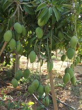 egyptian frozen iqf mango best quality A