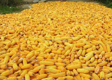 WHITE/YELLOW CORN / MAIZE FOR HUMAN CONSUMPTION AND ANIMAL FEED / NON -