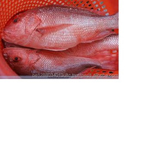 Whole Round Red Snapper Fish , Frozen Red Snapper Fish For sale