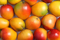 Fresh Alphanso Mango Available good Price