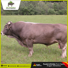 Purebred Bull For Quality Beef | Parda of Montana Race | SAT Ganadera