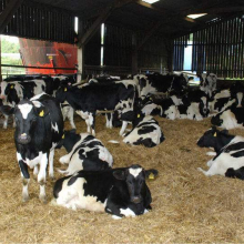 Healthy Pregnant Holstein Heifers Cow/ Healthy Pregnant Holstein Heifers Cattle For Sale