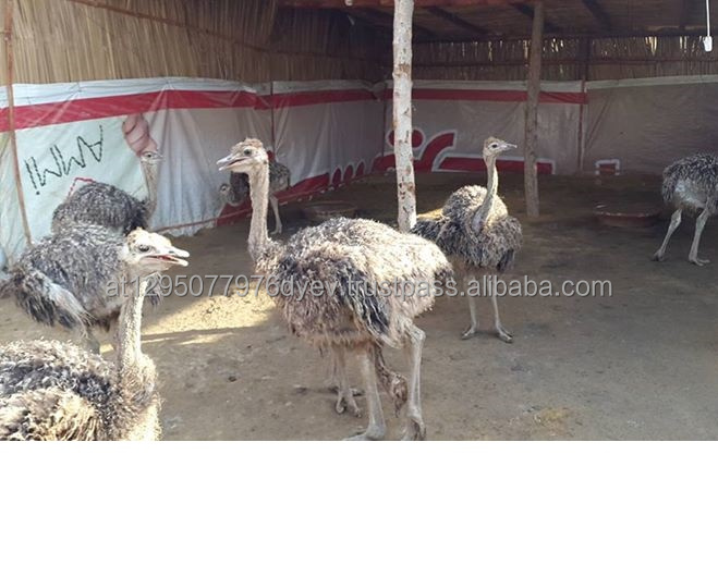 Ostrich Chicks, % Eggs and Quality Feathers - South Africa.