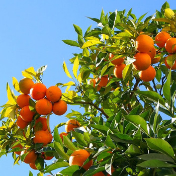 Fresh Juicy Oranges and Valencia - Three Categories ( Premium - Class 1 - Class 2 ) for export
