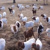 Boer And Senaan Goats For Sale
