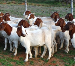 Healthy Full Breed Boer Goats are Ready For Export/Flock Of Live Boer Goats For Sale/Full grown male and Female Boer goats Avail