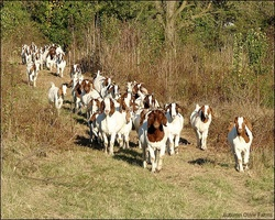 Livestock Full Blood Boer Goats for sale Wholesale price