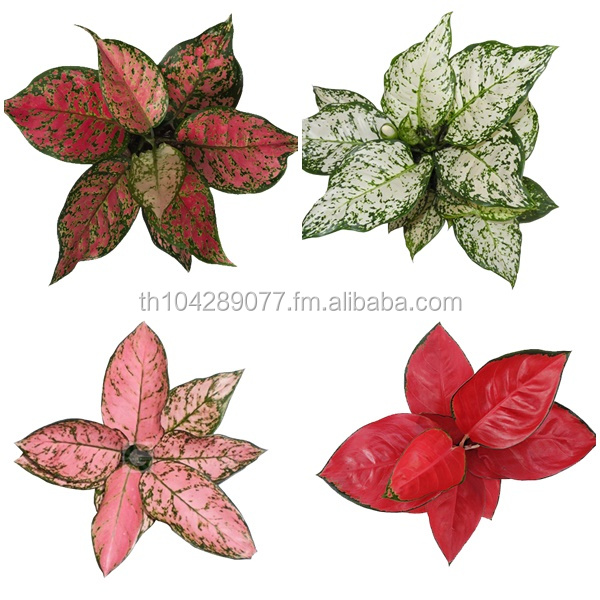 AGLAONEMA PLANTS.