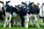 Live Friesian Holstein Cow and Boer Goat,For Sale