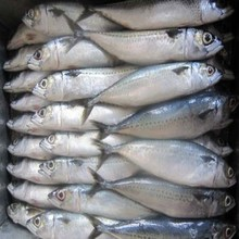 Delicious Taste Pacific Frozen Mackerel Available for Bulk Purchase