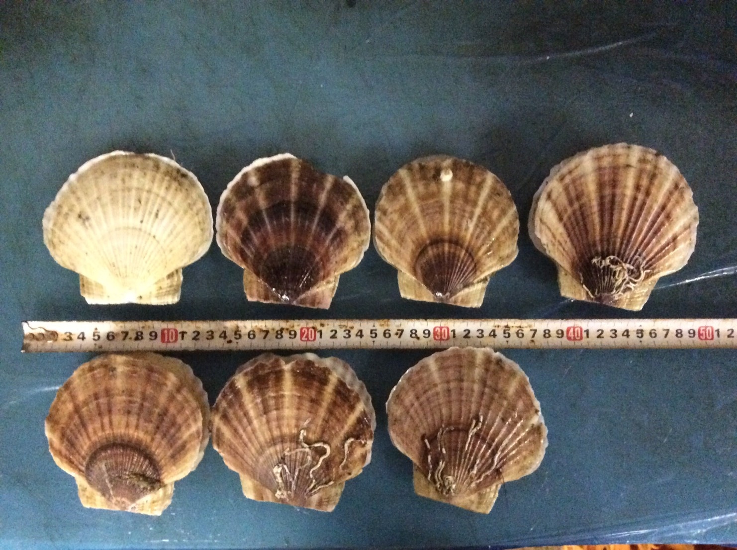 Hokkaido Japan,Scallop Half / Whole Shell (Live / Frozen)