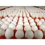 Farm chicken egg poultry farm