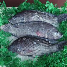 high quality 500-800g Whole Round Frozen Red Tilapia for sale