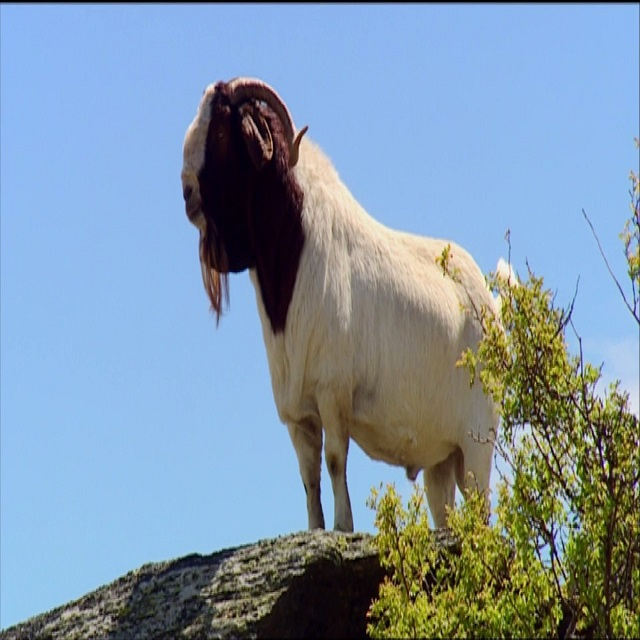 Alive Boer Goat, Alpine Goat, Anglo-Nubian Goat forsale at a low rate