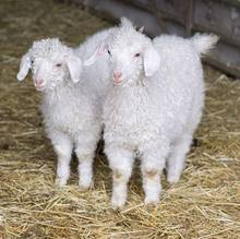 Goat breeds originating from South Africa Angora goat Bulk Heads available for immediate delivery worldwide Livestock