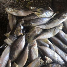 25cm+ Chilled Fish Of Horse Mackerel Supplied With High Quality Confirmed SGS Certification