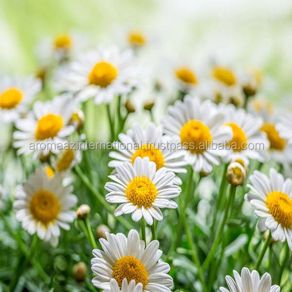 Chamomile German Oil Pure