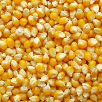 Quality Yellow Maize Corn for animal feed