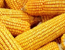 Yellow Corn/Maize for Animal Feed / YELLOW CORN FOR POULTRY FEED.....