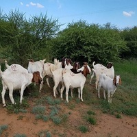 Healthy and cheap well checked boer goats for sale