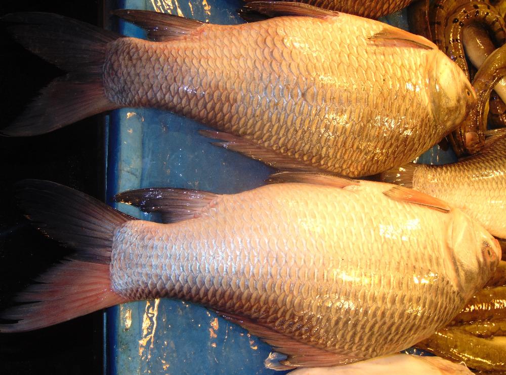 Katla fish in water