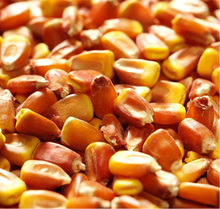 MAIZE SEEDS for PLANTING SEEDS F1/hybrid maize corn seeds from South Africa for sale/sweet waxy white Maize seeds for Planting