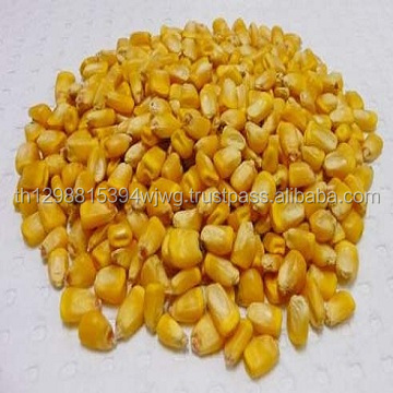 Quality Pure White and Yellow dry corn for human consumption and oil production