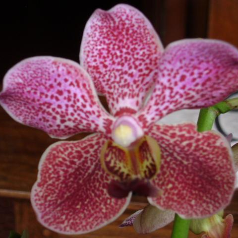 Decorative Fresh Natural Orchid Cut Flower Vanda Plant indoor outdoor