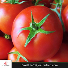 Egyptian green tomato fresh export