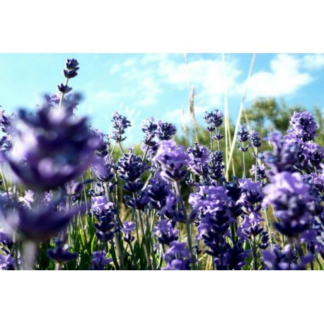 High germination Provence Lavender Seeds for planting / Provence Lavender flower Seeds/ Perennial Flowers Seeds