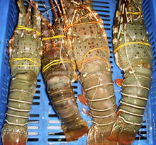 Fresh , Frozen and Live Lobsters