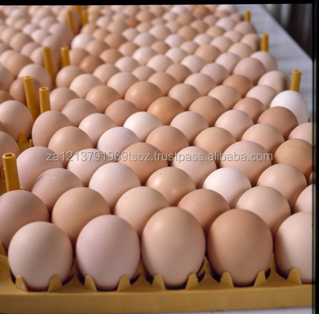 Broiler Hatching Eggs Cobb 500 and Ross 308 / chicken ross / broiler chicken eggs for sale
