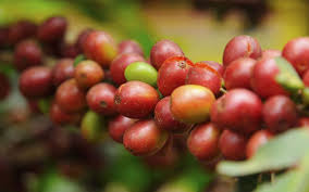 ROBUSTA CHERRY / AB/ PB GRADE UNROSTAED HYGENIC ORGANIC COFFEE BEANS LIGHT GOLD COLOUR