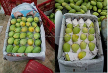 PREMIUM QUALITY TAIWAN MANGO FRESH FRUIT FOR SELLING - SWEET MANGO