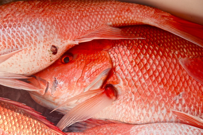 Quality Frozen Red Snapper (Pacific Rock Fish)