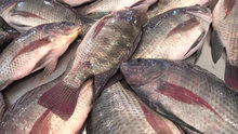 FROZEN BLACK AND RED TILAPIA WHOLE ROUND