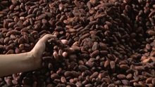Raw Organic Cacao Beans Good Price
