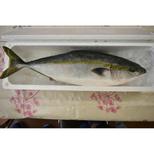 Japan farmed yellowtail fish seafood wth richful Vitamin B1 and B2