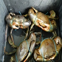 Mud Crabs from Sri Lanka