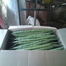 Best Fresh Vegetables Drumstick Gold Supplier/Exporter List