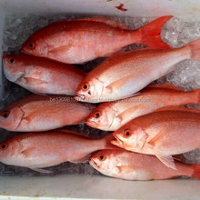 FROZE SEA BREAM RED FISH FOR SALE.