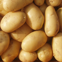 New Crop Holland Yellow Fresh Potato Fresh Potatoes
