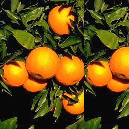 Fresh Orange, Oranges.jpg