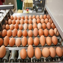 Fresh Table Chicken Egg Size 40g-50g-60g-65g-70g