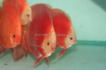 Royal ruby red discus