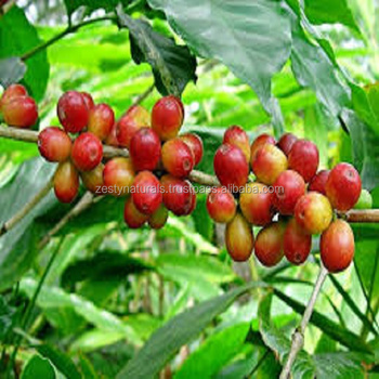 NATURAL AND 100% ORGANIC COFFEE ROBUSTA CHERRY / AB/ PB GRADE UNROSTAED FACTORY PRICE