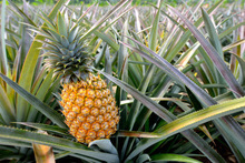 Wholesale /Fresh pineapples best price / canned pineapple hot sale