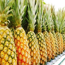 New crop Fresh Pineapple for export with Philippines origin