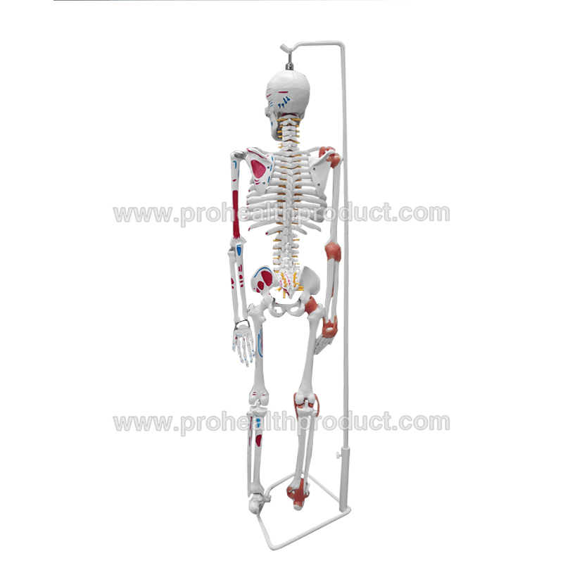85cm Colored Muscle Nerve Painted Human Skeleton Model Anatomy 85cm Skeleton Model