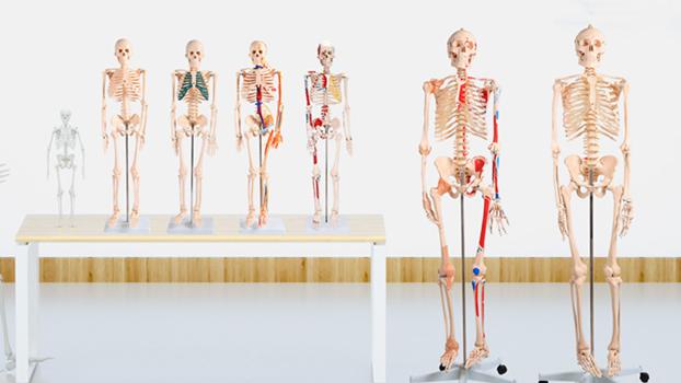 Hohe qualität BIX-A1003 Menschliche volle körper Skelett anatomisches modell 85cm